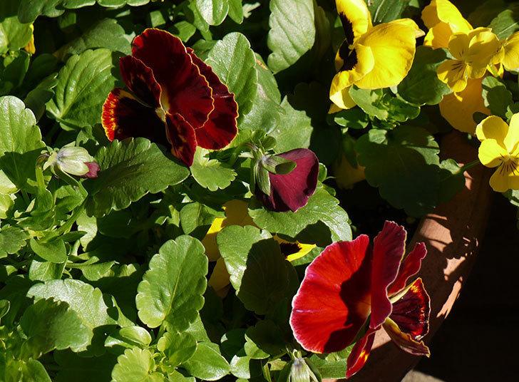 ボニータ(パンジー)オン・ファイアが咲いた。2015年-2.jpg