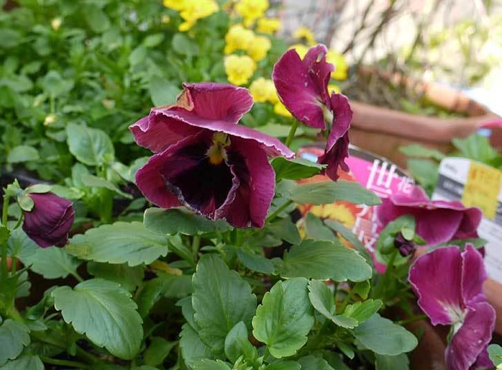 ボニータ(パンジー)サングリア・パンチの花が更に咲いた。2015年-1.jpg