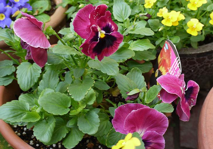 ボニータ(パンジー)サングリア・パンチの花が更に咲いた。2015年-2.jpg