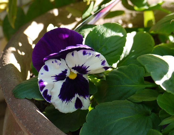 ボニータ(パンジー)ビバラ・バイオレットが咲いた。2015年-1.jpg