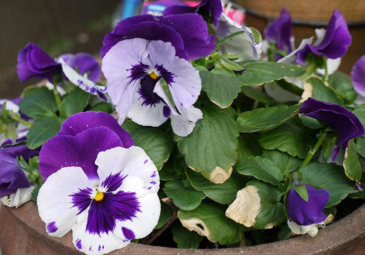 ボニータ(パンジー)ビバラ・バイオレットの花が大きくなってきた気がする。2015年-3.jpg