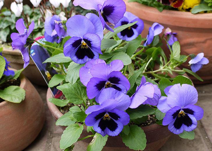 ボニータ(パンジー)ブルー・ティフルがたくさん咲いた。2015年-1.jpg