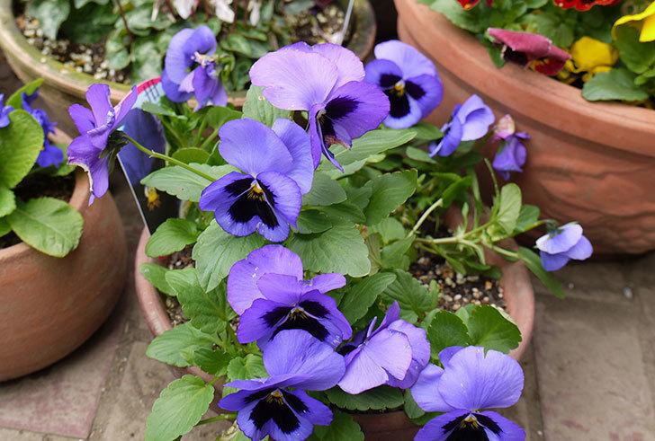 ボニータ(パンジー)ブルー・ティフルがたくさん咲いた。2015年-2.jpg
