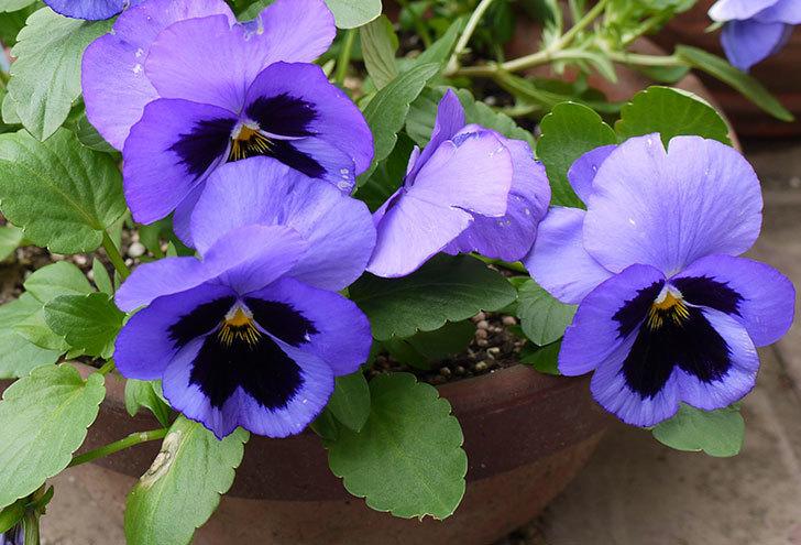 ボニータ(パンジー)ブルー・ティフルがたくさん咲いた。2015年-3.jpg