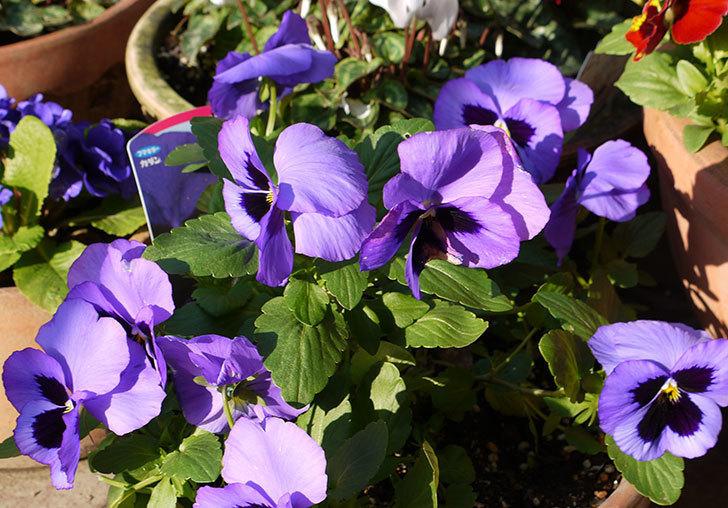 ボニータ(パンジー)ブルー・ティフルの花が大きくなってきた。2015年-1.jpg