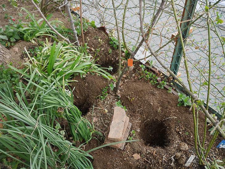 ポンポネッラ(Pomponella)に寒肥を施した。半ツルバラ。2021年-001.jpg