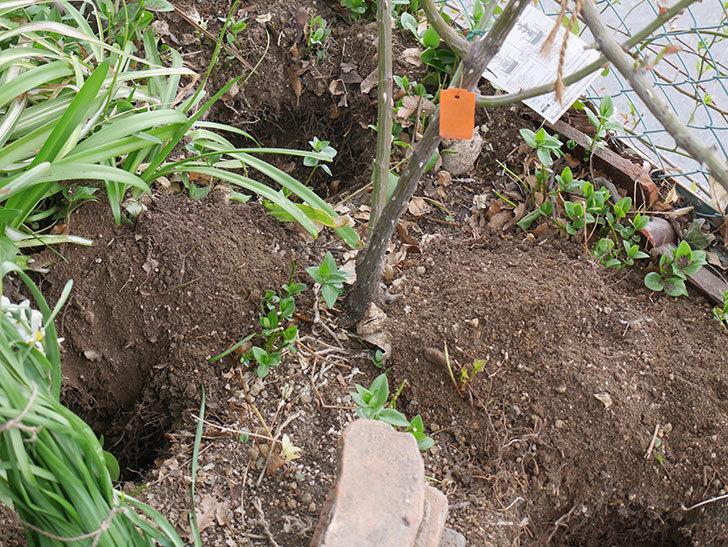 ポンポネッラ(Pomponella)に寒肥を施した。半ツルバラ。2021年-002.jpg