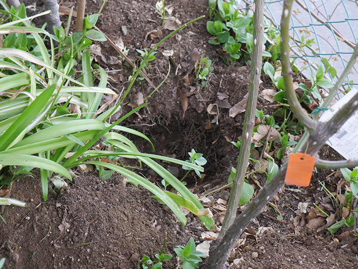 ポンポネッラ(Pomponella)に寒肥を施した。半ツルバラ。2021年-003.jpg