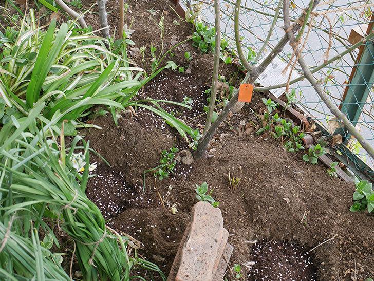 ポンポネッラ(Pomponella)に寒肥を施した。半ツルバラ。2021年-005.jpg