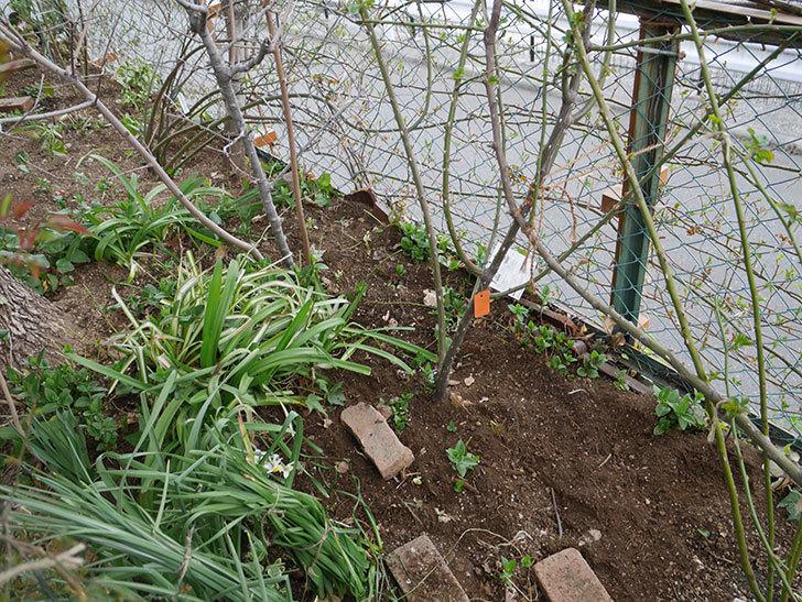 ポンポネッラ(Pomponella)に寒肥を施した。半ツルバラ。2021年-009.jpg
