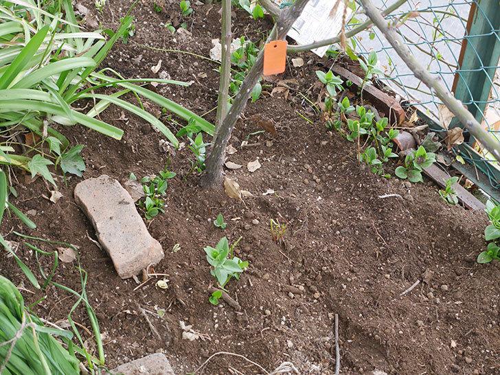 ポンポネッラ(Pomponella)に寒肥を施した。半ツルバラ。2021年-010.jpg