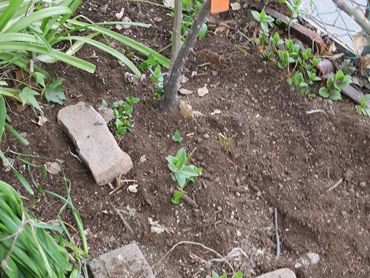 ポンポネッラ(Pomponella)に寒肥を施した。半ツルバラ。2021年-011.jpg