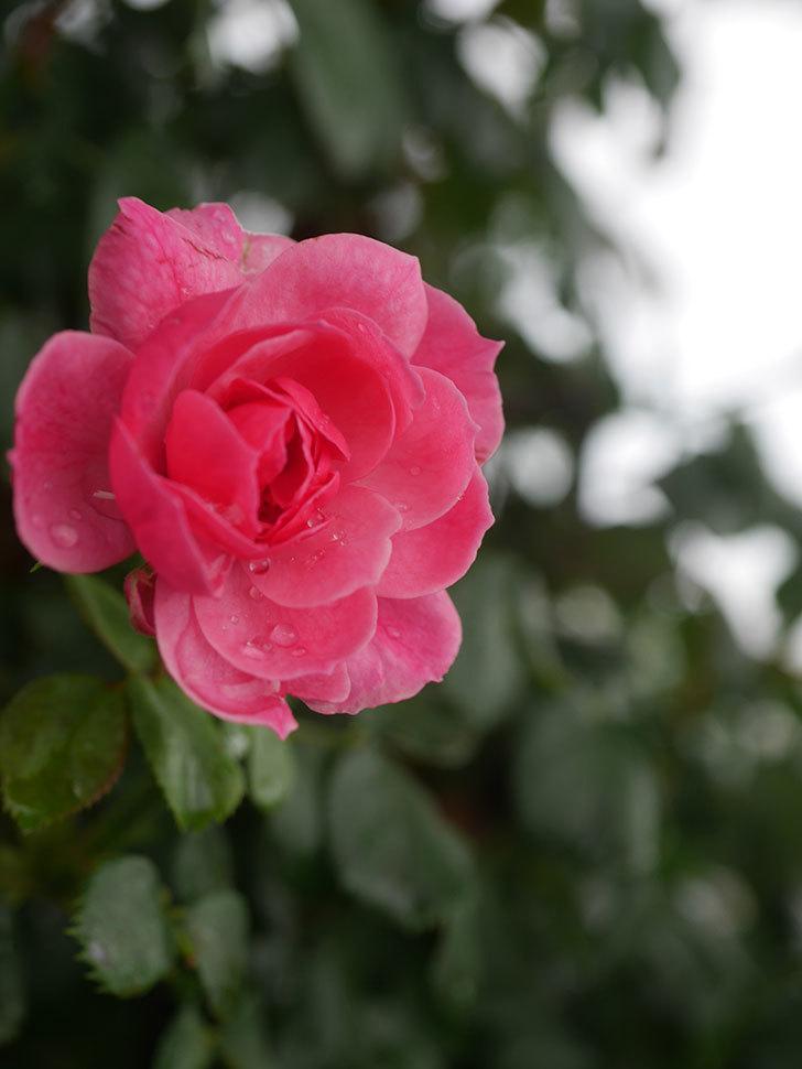 ポンポネッラ(Pomponella)の2番花が咲いた。半ツルバラ。2020年-002.jpg