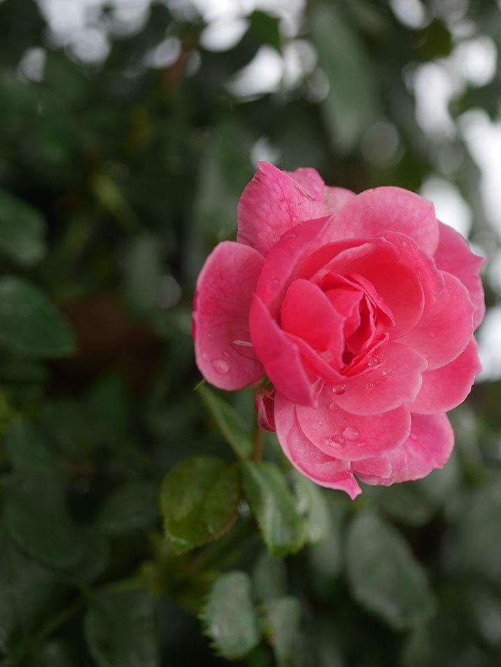 ポンポネッラ(Pomponella)の2番花が咲いた。半ツルバラ。2020年-003.jpg