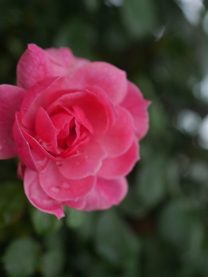 ポンポネッラ(Pomponella)の2番花が咲いた。半ツルバラ。2020年-004.jpg