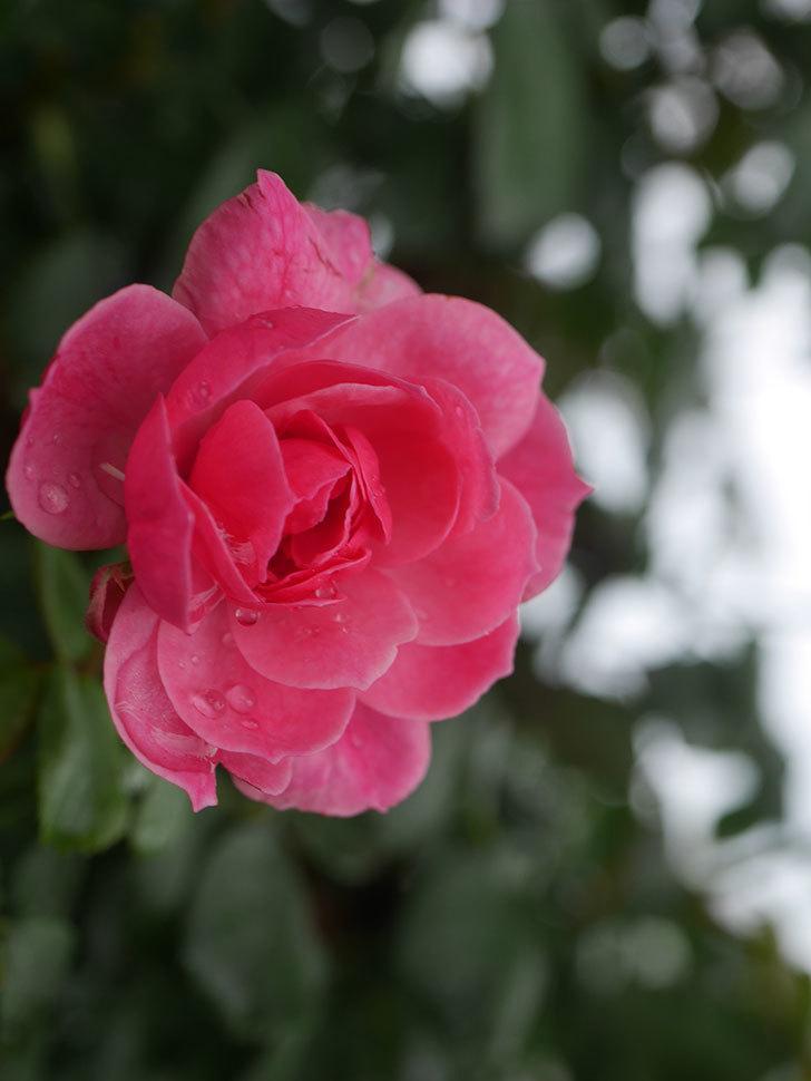 ポンポネッラ(Pomponella)の2番花が咲いた。半ツルバラ。2020年-005.jpg