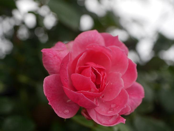 ポンポネッラ(Pomponella)の2番花が咲いた。半ツルバラ。2020年-006.jpg