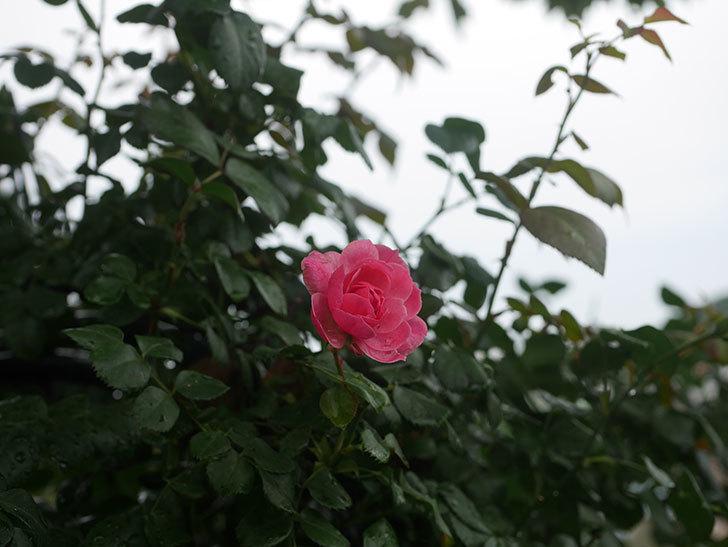 ポンポネッラ(Pomponella)の2番花が咲いた。半ツルバラ。2020年-007.jpg