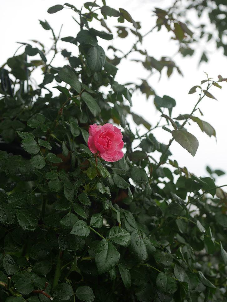 ポンポネッラ(Pomponella)の2番花が咲いた。半ツルバラ。2020年-008.jpg