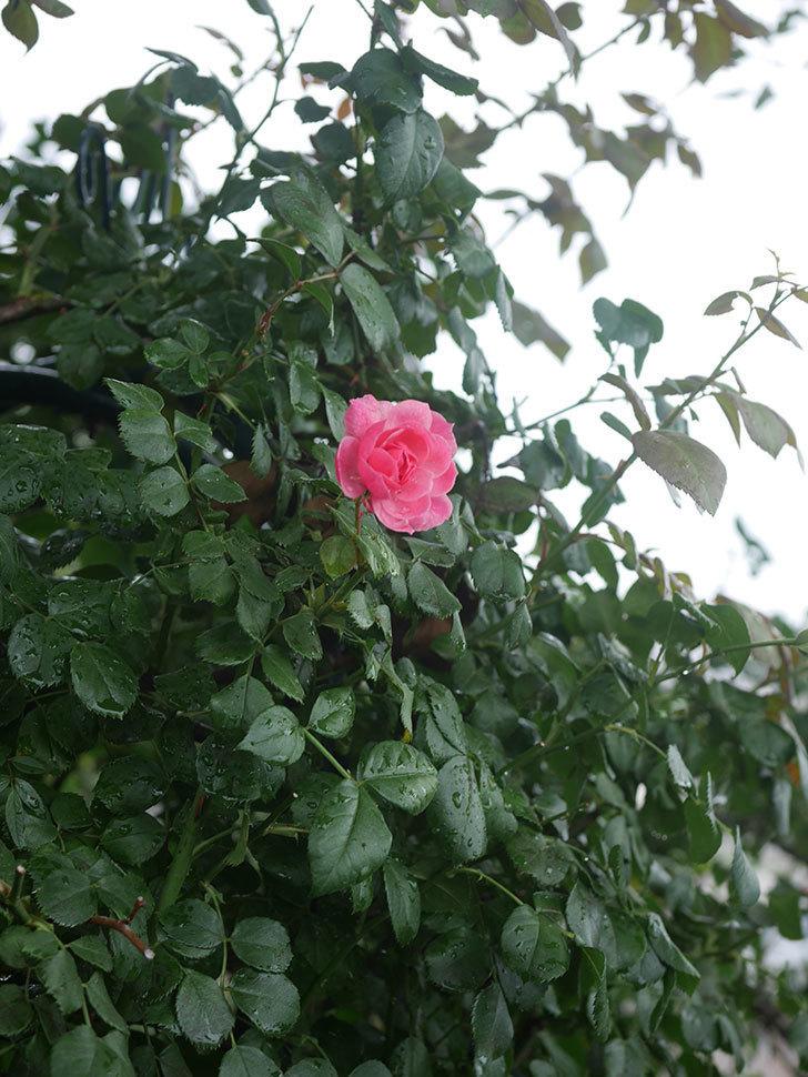 ポンポネッラ(Pomponella)の2番花が咲いた。半ツルバラ。2020年-010.jpg