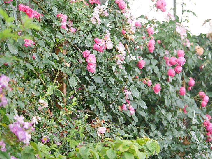 ポンポネッラ(Pomponella)の花がたくさん咲いた。ツルバラ。2021年-001.jpg