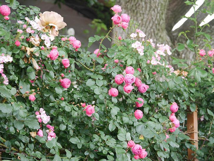 ポンポネッラ(Pomponella)の花がたくさん咲いた。ツルバラ。2021年-002.jpg