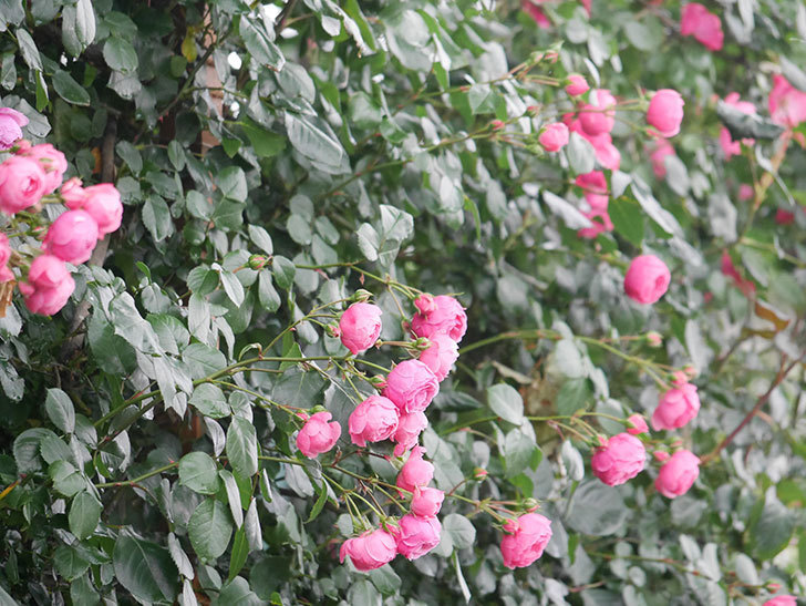 ポンポネッラ(Pomponella)の花がたくさん咲いた。ツルバラ。2021年-003.jpg