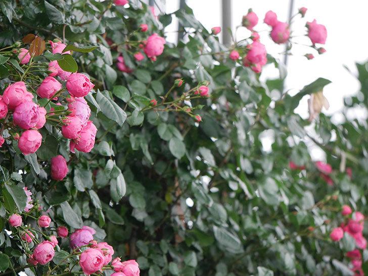 ポンポネッラ(Pomponella)の花がたくさん咲いた。ツルバラ。2021年-004.jpg