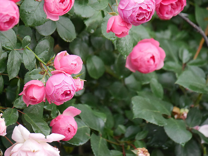 ポンポネッラ(Pomponella)の花がたくさん咲いた。ツルバラ。2021年-009.jpg