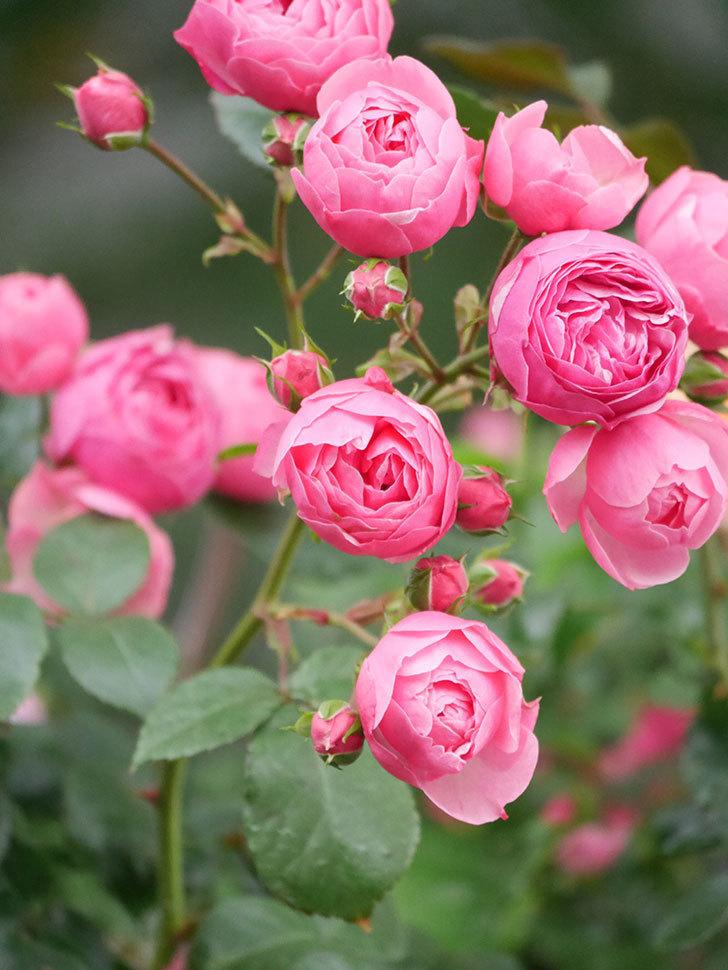 ポンポネッラ(Pomponella)の花がたくさん咲いた。ツルバラ。2021年-013.jpg