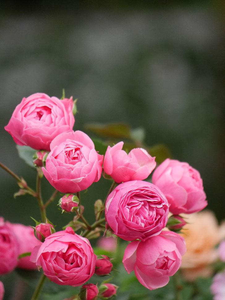 ポンポネッラ(Pomponella)の花がたくさん咲いた。ツルバラ。2021年-015.jpg