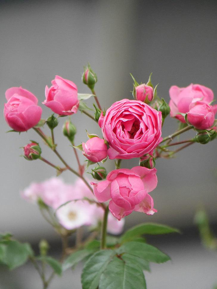 ポンポネッラ(Pomponella)の花がたくさん咲いた。ツルバラ。2021年-016.jpg