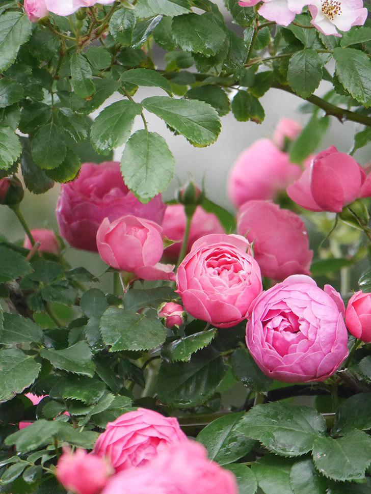 ポンポネッラ(Pomponella)の花がたくさん咲いた。ツルバラ。2021年-017.jpg