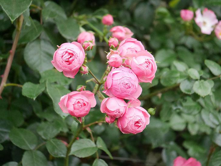 ポンポネッラ(Pomponella)の花がたくさん咲いた。ツルバラ。2021年-019.jpg