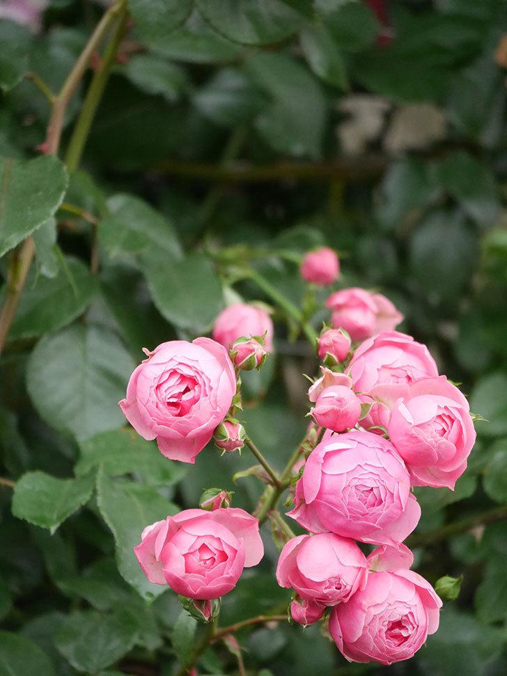 ポンポネッラ(Pomponella)の花がたくさん咲いた。ツルバラ。2021年-020.jpg