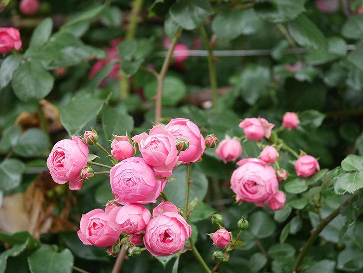 ポンポネッラ(Pomponella)の花がたくさん咲いた。ツルバラ。2021年-026.jpg