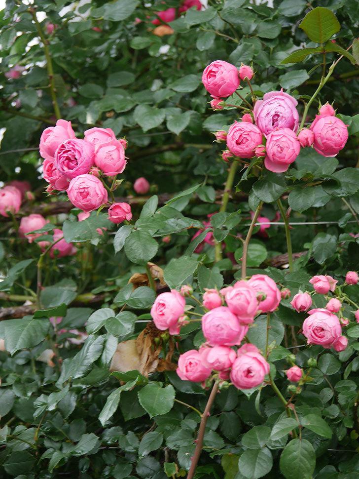 ポンポネッラ(Pomponella)の花がたくさん咲いた。ツルバラ。2021年-027.jpg
