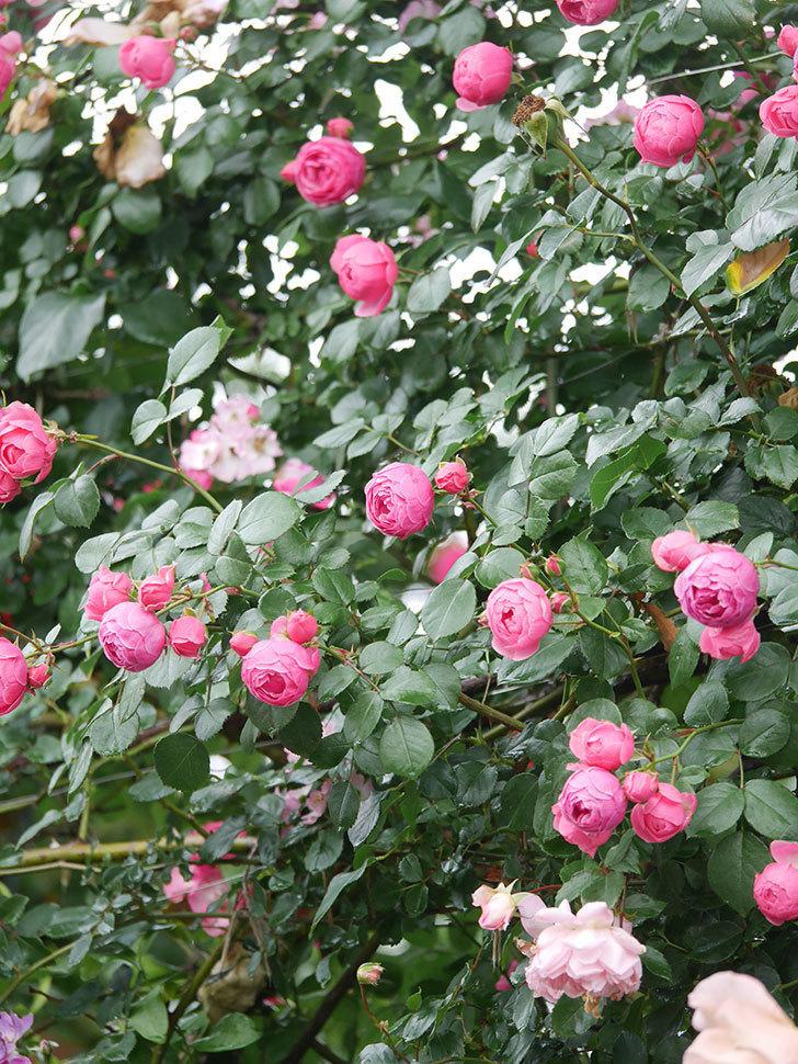 ポンポネッラ(Pomponella)の花がたくさん咲いた。ツルバラ。2021年-028.jpg