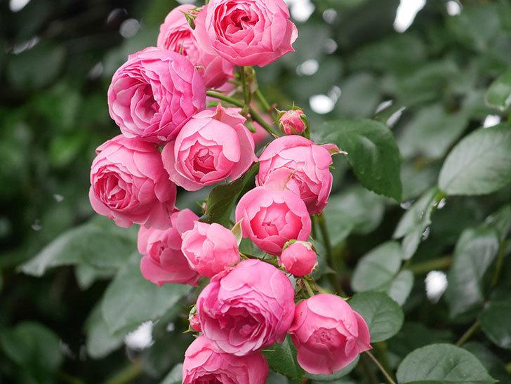 ポンポネッラ(Pomponella)の花がたくさん咲いた。ツルバラ。2021年-030.jpg