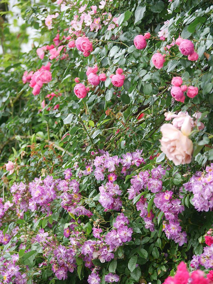 ポンポネッラ(Pomponella)の花がたくさん咲いた。ツルバラ。2021年-031.jpg