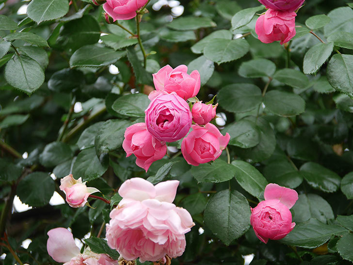 ポンポネッラ(Pomponella)の花がたくさん咲いた。ツルバラ。2021年-032.jpg