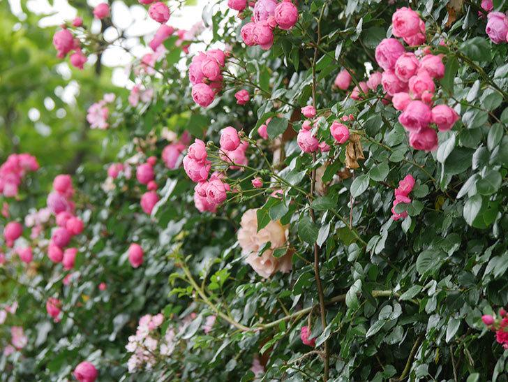 ポンポネッラ(Pomponella)の花がたくさん咲いた。ツルバラ。2021年-036.jpg