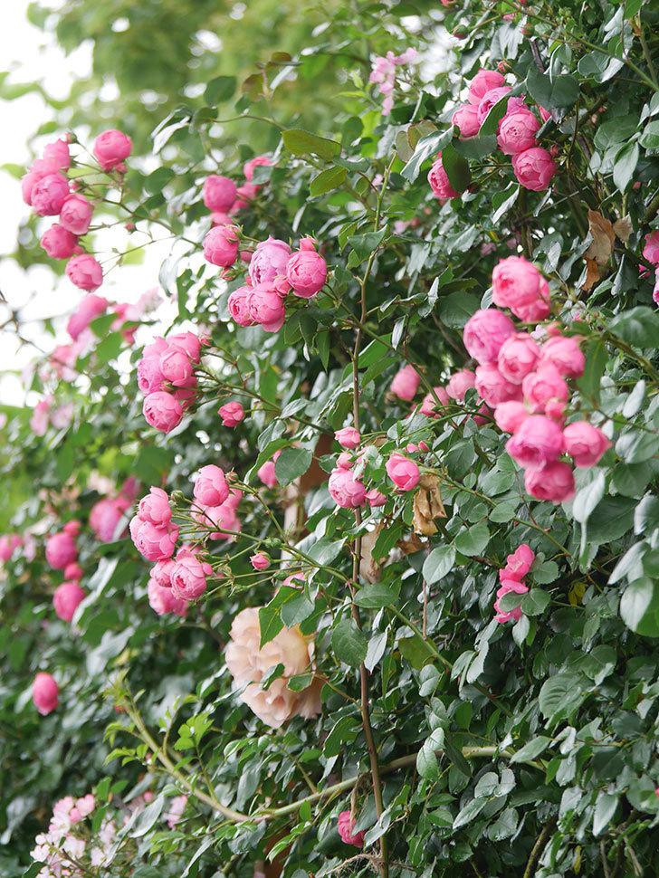 ポンポネッラ(Pomponella)の花がたくさん咲いた。ツルバラ。2021年-037.jpg