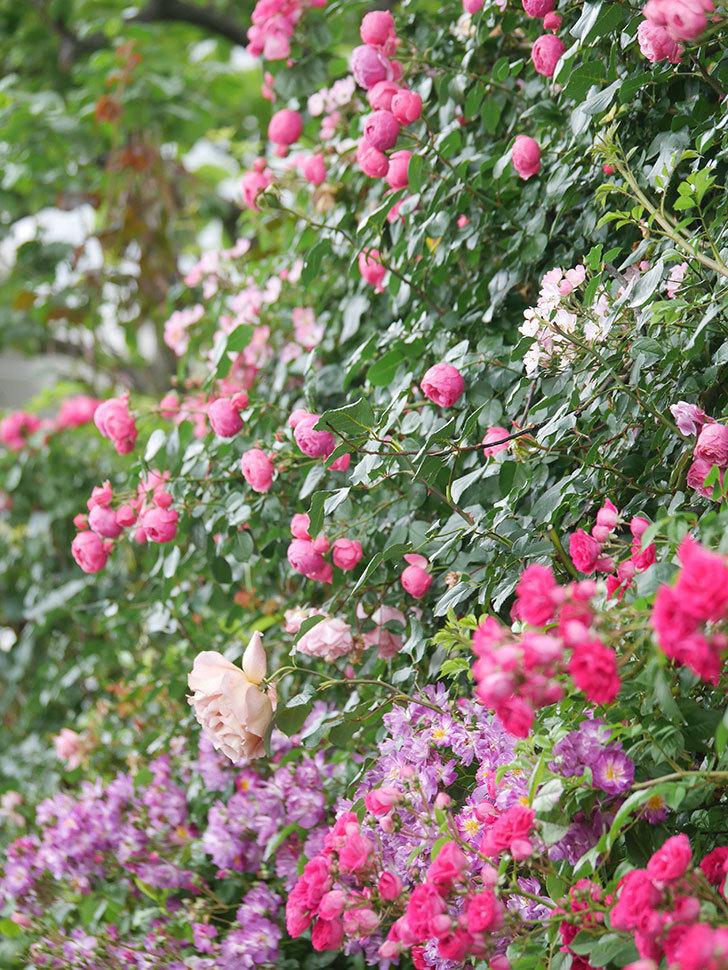 ポンポネッラ(Pomponella)の花がたくさん咲いた。ツルバラ。2021年-038.jpg