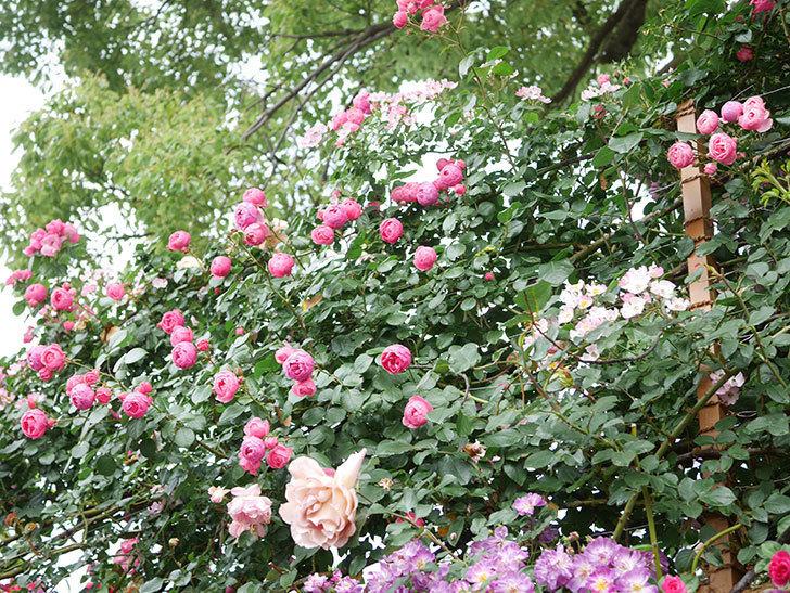 ポンポネッラ(Pomponella)の花がたくさん咲いた。ツルバラ。2021年-039.jpg