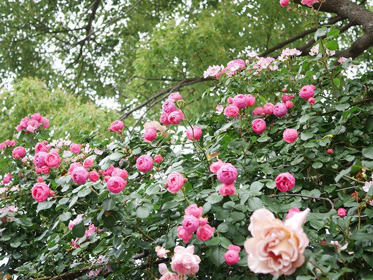 ポンポネッラ(Pomponella)の花がたくさん咲いた。ツルバラ。2021年-040.jpg