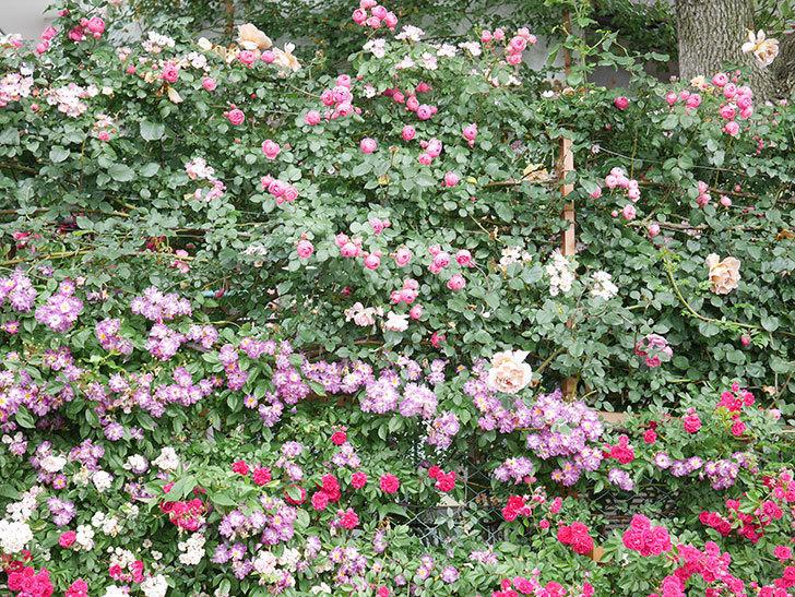 ポンポネッラ(Pomponella)の花がたくさん咲いた。ツルバラ。2021年-041.jpg