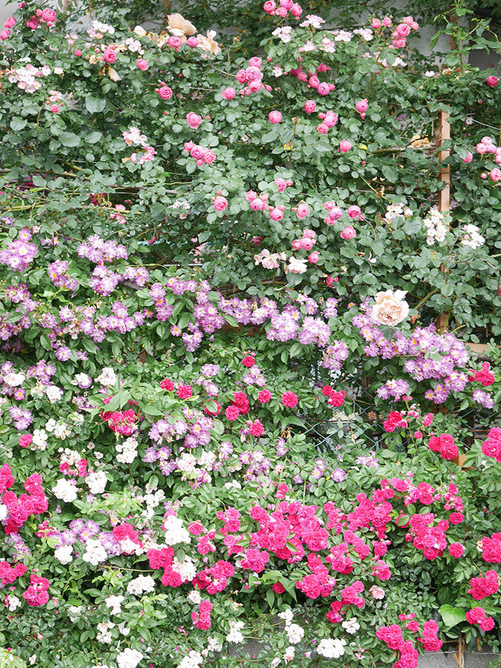 ポンポネッラ(Pomponella)の花がたくさん咲いた。ツルバラ。2021年-042.jpg