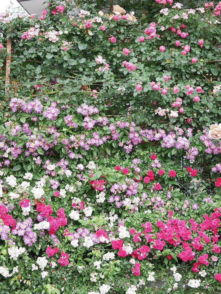 ポンポネッラ(Pomponella)の花がたくさん咲いた。ツルバラ。2021年-043.jpg
