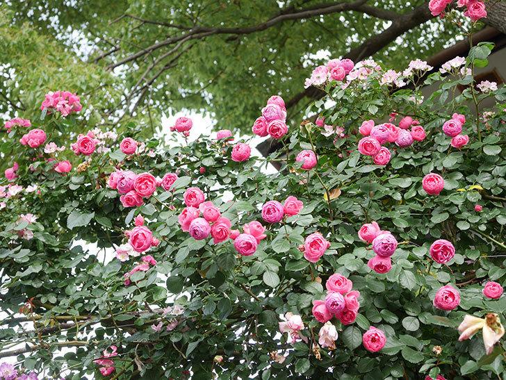 ポンポネッラ(Pomponella)の花がたくさん咲いた。ツルバラ。2021年-045.jpg